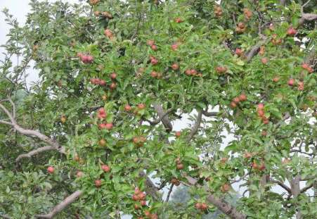A tree laden with Apples
